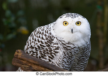 snow owl - portrait of a beautiful snow owl Bubo scandiacus...