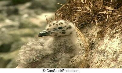 gulls chicks - nestling gulls in the nest on the cliffs