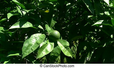 lemon - green lemon fruit on the branch