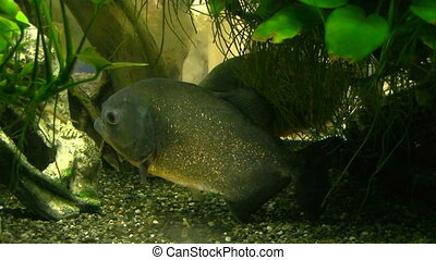 piranha fish in the algae is