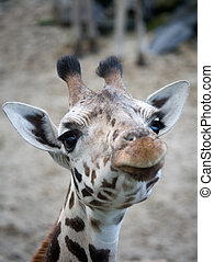 cute giraffe looking funny at the camera