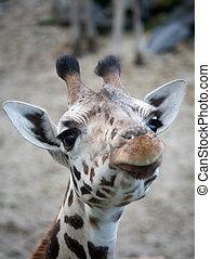 CÙte, Girafa