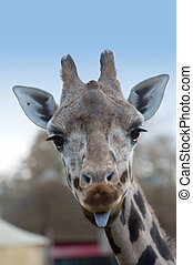 cute giraffe sticking tongue out to the camera