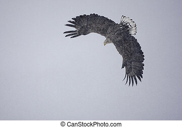 White-tailed sea-eagle, Haliaeetus albicilla, flight, Japan,...
