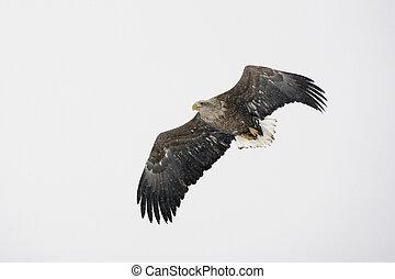 White-tailed sea-eagle, Haliaeetus albicilla, flight, Japan,...
