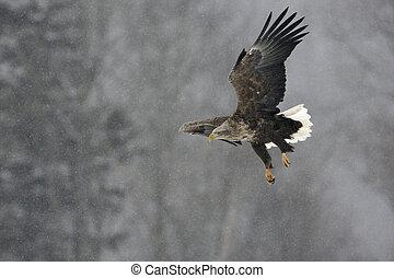 White-tailed sea-eagle, Haliaeetus albicilla