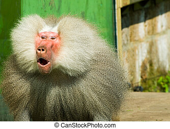 suprised baboon monkey - close-up of a suprised baboon...