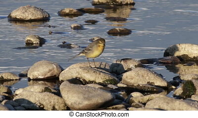 Yellow Wagtail Motacilla flava - yellow wagtail feeding near...
