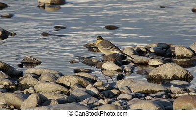 Yellow Wagtail (Motacilla flava) - yellow wagtail noticed...