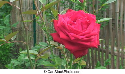 red rose swinging in the wind
