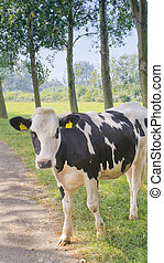 cow passing by - Dutch cow standing on a path in between...