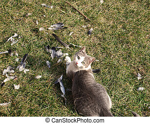 Cat hunter - gray domestic cat outdoor after eating pigeon