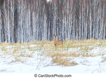 Photo hunting for deer Capreolus Winter forest