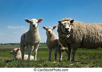 sheep, család
