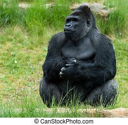male gorilla - close-up of a big male gorilla