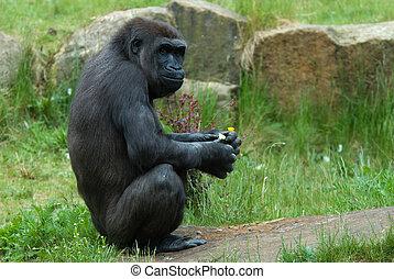 female gorilla - close up of a big female gorilla