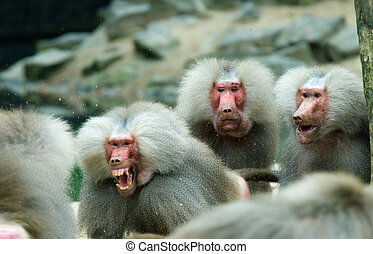 baboon monkey in a fight with two monkeys looking suprised...
