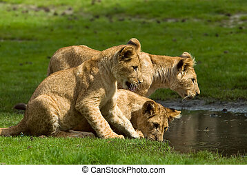 lion cubs going for a drink