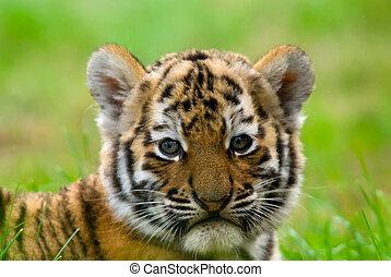 cute siberian tiger cub Tiger Panthera tigris altaica