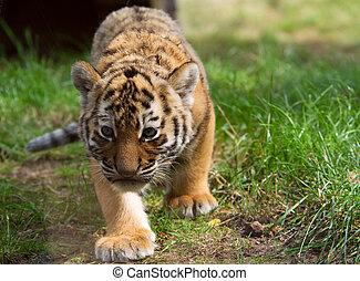 cute siberian tiger cub (Tiger Panthera tigris altaica)