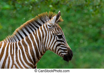 baby zebra  - closeup of a beautiful baby zebra