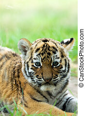 Siberian tiger cub - cute siberian tiger cub Tiger Panthera...