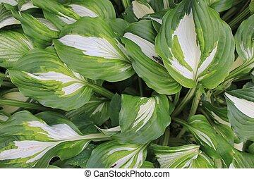 Hosta - Closeup photo of a hosta - a nature background