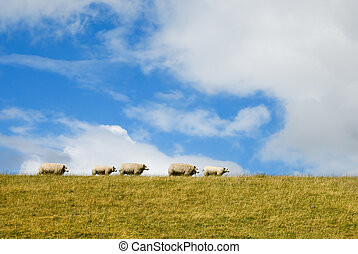 sheep on the dike in Friesland, the Netherlands