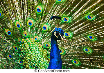 beautiful male indian peacock showing its feathers Pavo...