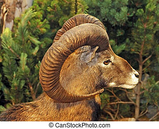 muzzle of an ibex or Barbary sheep with horns twisted in the...