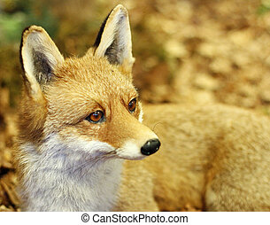 young specimen of Fox while resting lying in the middle of...