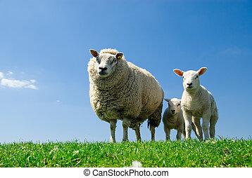 curieux, agneaux, mouton