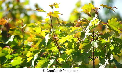 Maple tree leaves in early autumn
