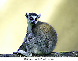 lemur with staring eyes and very bright over a tree branch