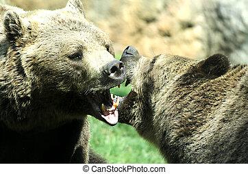 contenda, Feroz, tiros, Ursos, mandíbulas, Poderoso, dois,  3, luta, femininas, mordidas, abertos