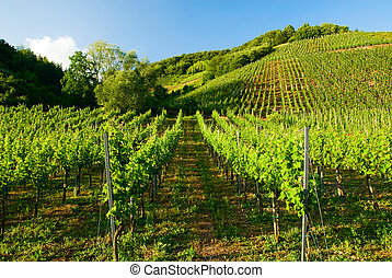 vineyards along the mosel river in germany