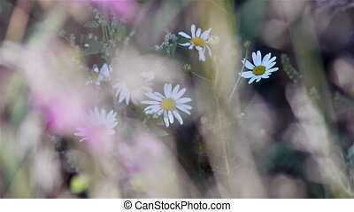 Summer meadow camomile flowers - Summer meadow grass and...
