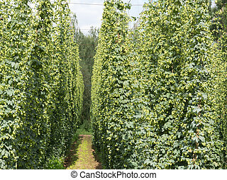 hop-garden in Zatec hop grow region, Czech Republic
