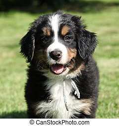 Bernese Mountain Dog puppy looking at you