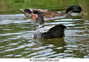 Muscovy Duck is a tropical bird, it adapts well to cooler...