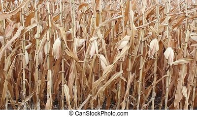 ripe field corn