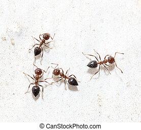 formigas, branca, parede, macro