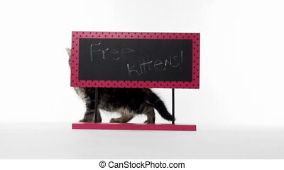 Tabby kitten with sign - Cute baby American shorthair tabby...