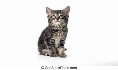 Tabby kitten on white - Cute baby American shorthair tabby...