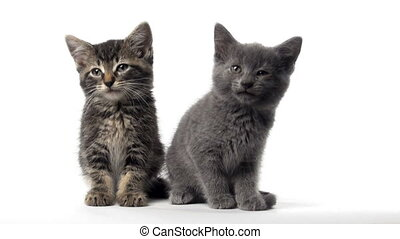 Two cute kittens - Two baby American shorthair kittens...
