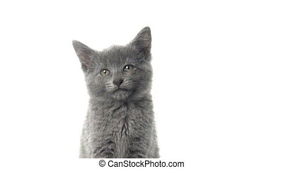 Gray kitten - Cute gray American shorthair baby kitten...