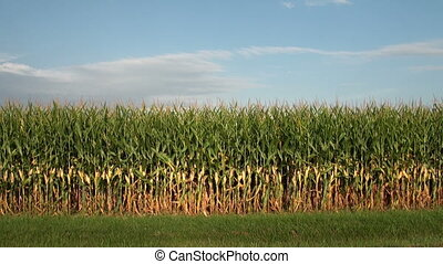 Field of Corn - Field of corn nearing harvest in the Midwest...