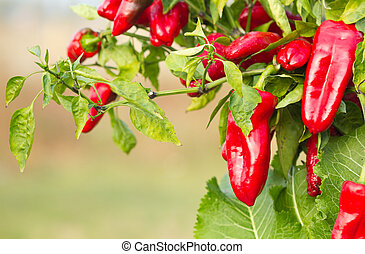 Red pepper in gardening .
