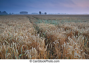 wheat field during warm summer misty sunrise, Groningen,...
