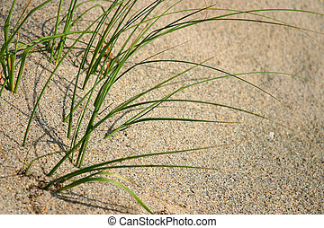Beach grass growing in the sand - Green beach grasses...